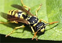 Large yellow and black wasp sits on a leaf