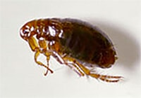 close-up of a brown flea on a white background