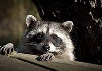A raccoon peering over a wooden wall